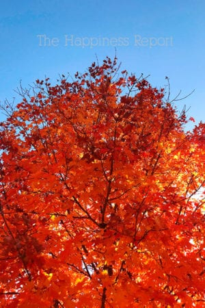 Bright blue sky with a bright orange fall leaves colored tree.