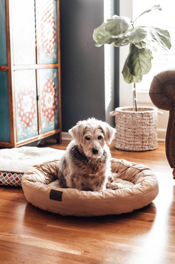 Dog on a dog bed with a Fiddle Fig Tree in the background